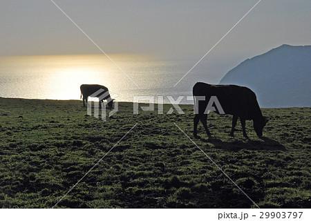 シルエット、牛、八丈島 29903797