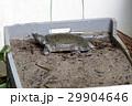 スッポン(鼈)カメ(亀) 29904646