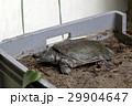 スッポン(鼈)カメ(亀) 29904647