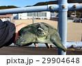 スッポン(鼈)カメ(亀) 29904648
