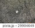スッポン(鼈)カメ(亀) 29904649