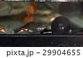 スッポン(鼈)カメ(亀) 29904655