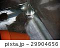 スッポン(鼈)カメ(亀) 29904656