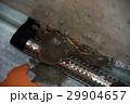 スッポン(鼈)カメ(亀) 29904657