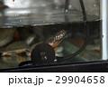 スッポン(鼈)カメ(亀) 29904658