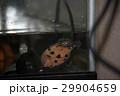 スッポン(鼈)カメ(亀) 29904659