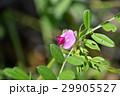 カラスノエンドウ 烏野豌豆 紅紫色の写真 29905527