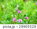 カラスノエンドウ 烏野豌豆 紅紫色の写真 29905528