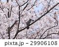 ヒヨドリと満開の桜 29906108