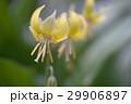 黄花片栗 29906897