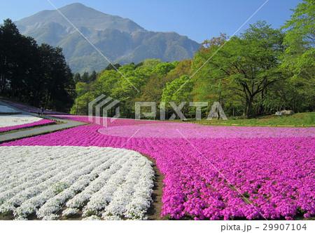 春爛漫 艶やか芝桜  29907104