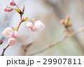 桜の開花 29907811
