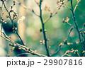 桜の開花 29907816