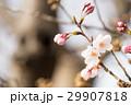 桜の開花 29907818