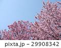 桜 さくら サクラ 29908342