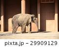 アフリカゾウ 29909129