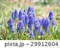 ムスカリ アルメニアカム 花の写真 29912604