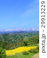 ナノハナ畑と北アルプス 29913229