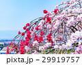 ハナモモ、桃の花、桃 29919757