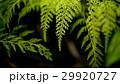 シダ グリーン 緑の写真 29920727