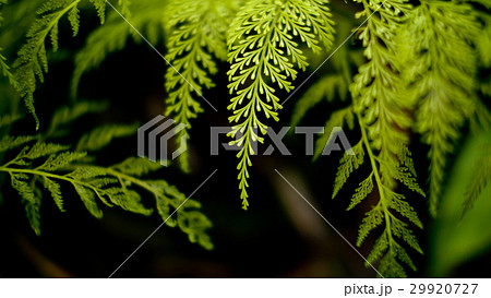 Texture Green Fern in The Jungle 29920727