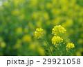 菜の花 ナバナ 花の写真 29921058