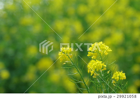 菜の花 29921058