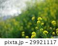 菜の花 ナバナ 花の写真 29921117
