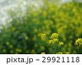 菜の花 ナバナ 花の写真 29921118