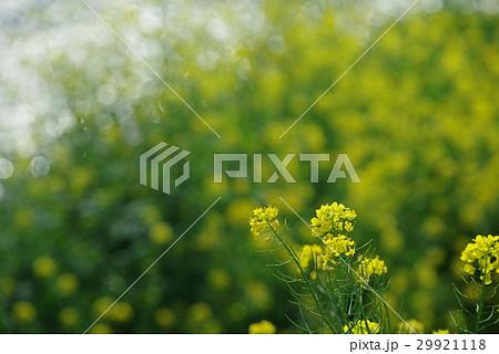 菜の花 29921118