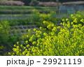 菜の花 ナバナ 花の写真 29921119