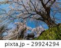 しだれ桜 29924294