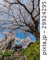 しだれ桜 29924295