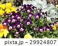 ビオラ スミレ科 花の写真 29924807