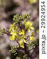 葉ボタンの花 29924954