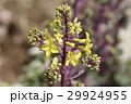 葉牡丹 アブラナ科 花の写真 29924955