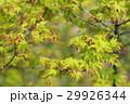 イロハモミジ イロハカエデ モミジの写真 29926344