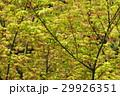 イロハモミジ イロハカエデ モミジの写真 29926351