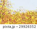 イロハモミジ イロハカエデ モミジの写真 29926352