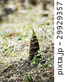 伸びる 筍 たけのこの写真 29929357