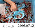 金魚 金魚すくい ポイの写真 29930712