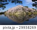 満開の彦根城中堀の桜 29938269