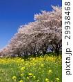 さくら堤公園 桜 染井吉野の写真 29938468