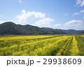 近江八幡市 春 菜の花の写真 29938609
