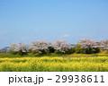近江八幡市 春 桜の写真 29938611
