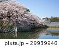 満開の彦根城中堀の桜 29939946