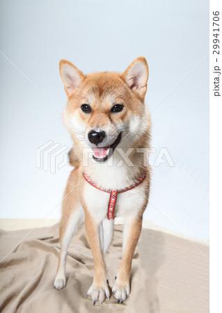 柴犬 29941706