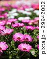 ピンクのリビングストーンデージーの花畑 29942002
