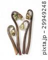 山菜 植物 蕨の写真 29949248