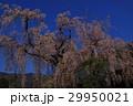 青空と枝垂桜(身延山久遠寺) 29950021
